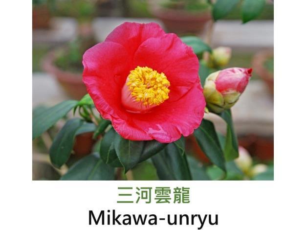 三河雲龍Mikawa-unryu .JPG