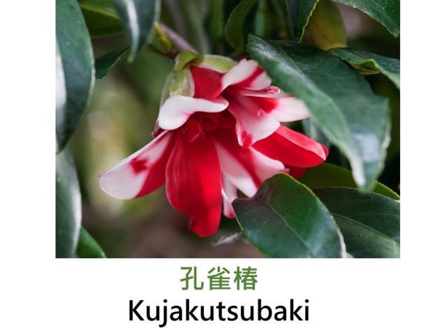 孔雀椿Kujakutsubaki.JPG