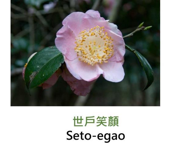 世戶笑顏Seto-egao.JPG