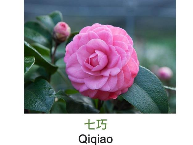 七巧Qiqiao.JPG