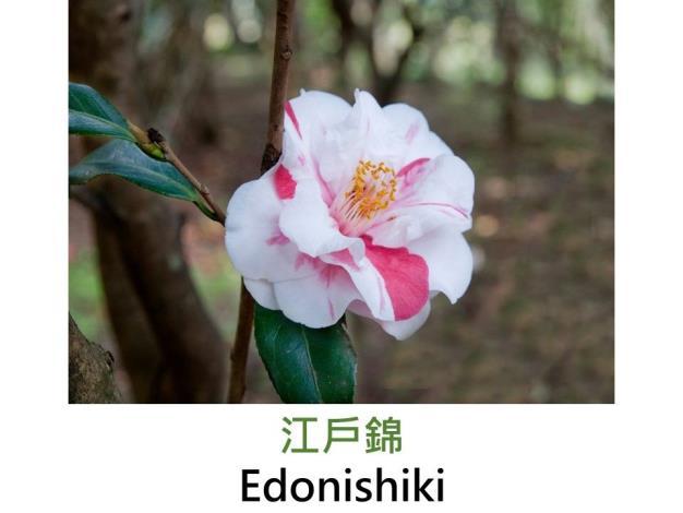 江戶錦Edonishiki.JPG