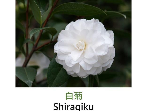 白菊Shiragiku.JPG