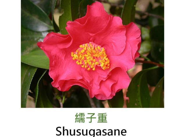 繻子重Shusugasane.JPG