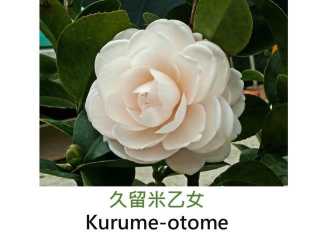久留米乙女Kurume-otome .JPG