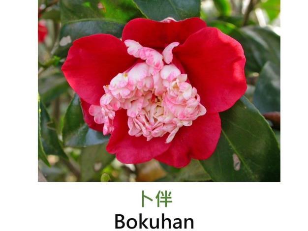卜伴Bokuhan   .JPG