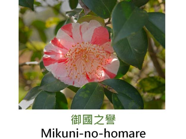 御國之譽Mikuni-no-homare.JPG