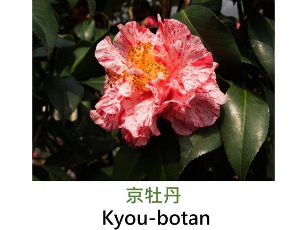 京牡丹Kyou-botan.JPG