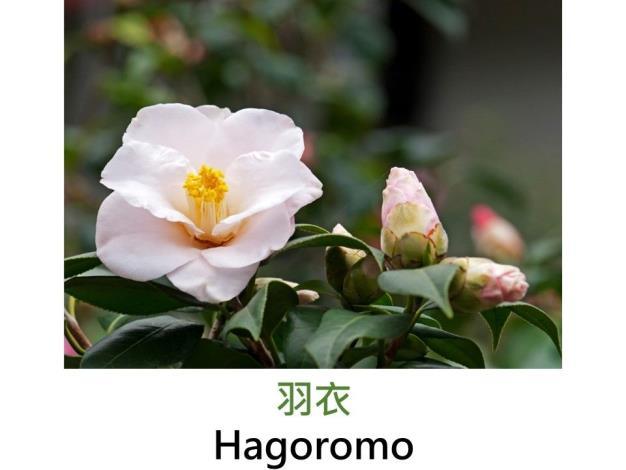 羽衣Hagoromo.JPG