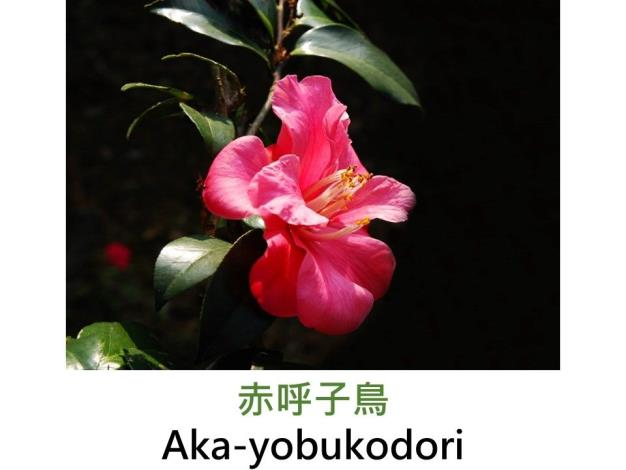 赤呼子鳥Aka-yobukodori.JPG
