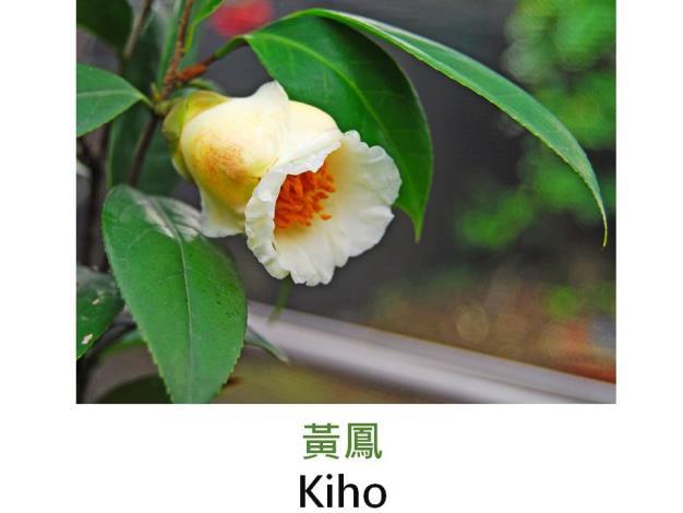 黃鳳Kiho.JPG