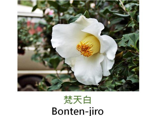 梵天白Bonten-jiro.JPG