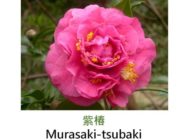 紫椿Murasaki-tsubaki.JPG