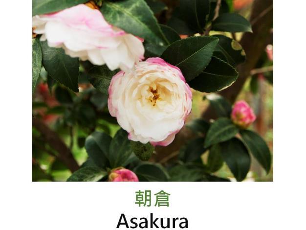 朝倉Asakura.JPG