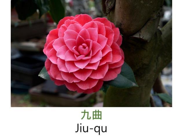 九曲Jiu-qu.JPG