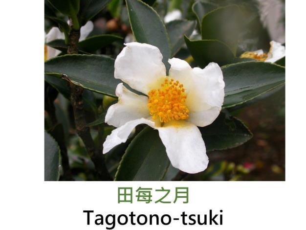 田每之月Tagotono-tsuki.JPG