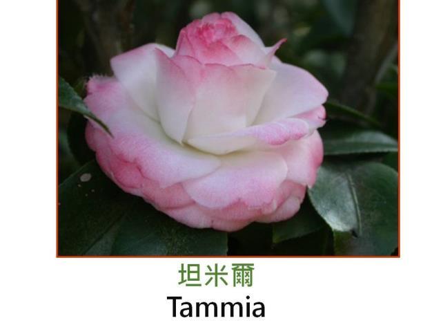 坦米爾Tammia.JPG