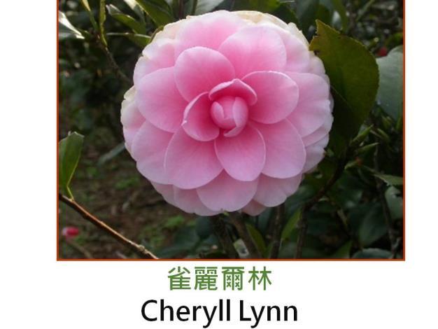 雀麗爾林Cheryll Lynn.JPG