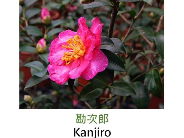 勘次郎Kanjiro.JPG