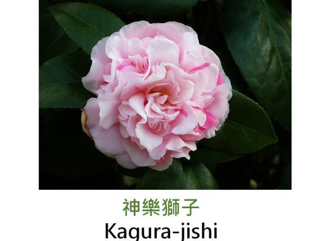 神樂獅子Kagura-jishi.JPG