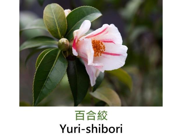 百合絞Yuri-shibori.JPG
