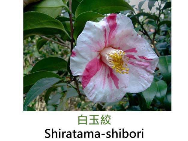 白玉絞Shiratama-shibori.JPG