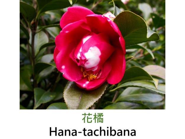 花橘Hana-tachibana.JPG