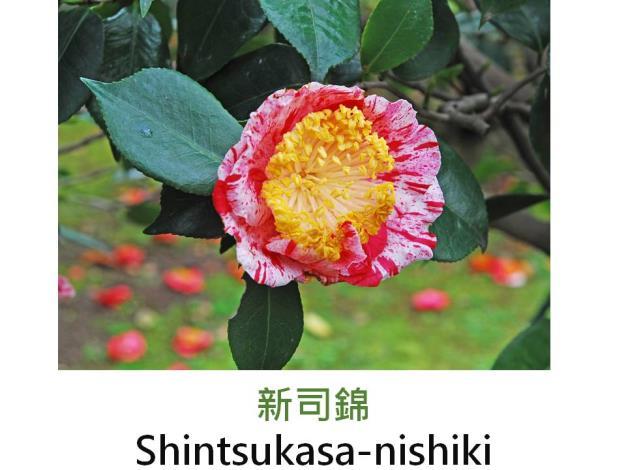 新司錦Shintsukasa-nishiki.JPG