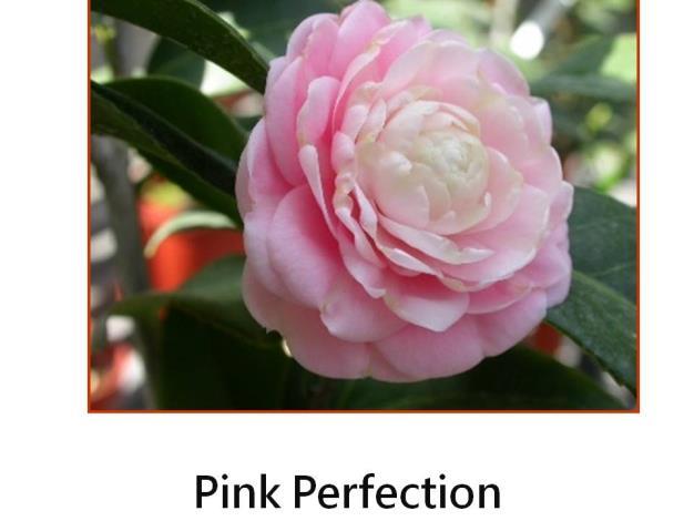 Pink Perfection.JPG