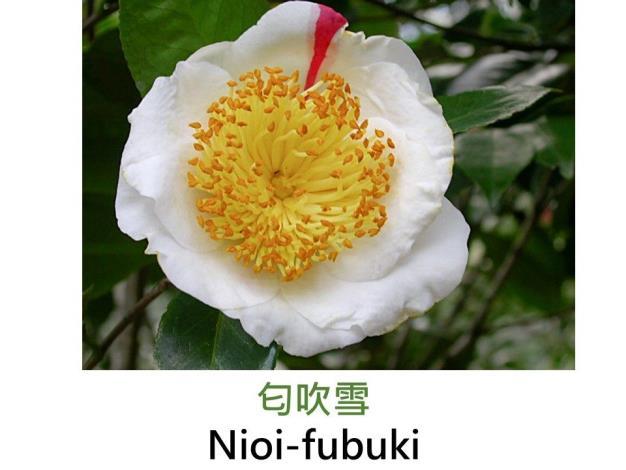 匂吹雪Nioi-fubuki.JPG