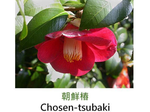 朝鮮椿Chosen-tsubaki.JPG