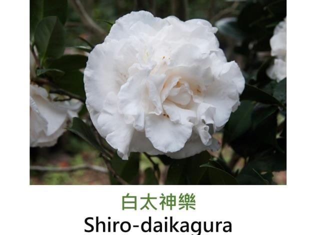 白太神樂Shiro-daikagura.JPG
