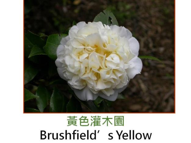 黃色灌木園Brushfield's Yellow.JPG