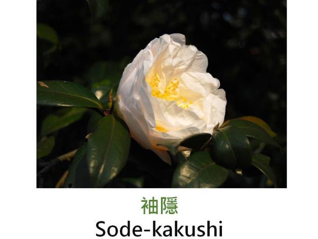 袖隱Sode-kakushi.JPG
