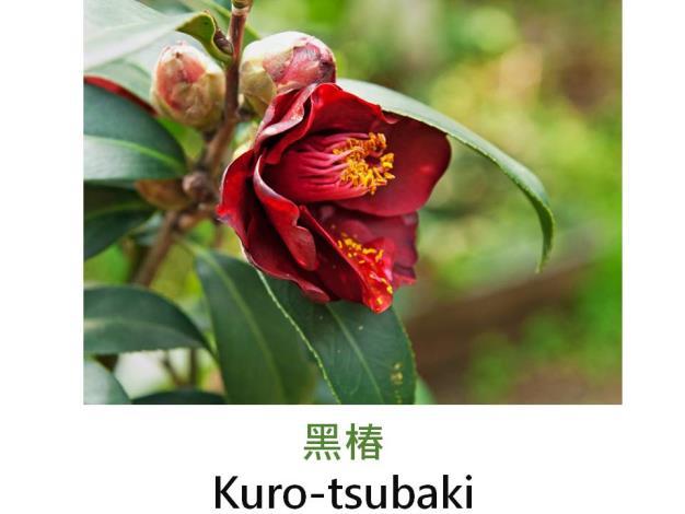 黑椿Kuro-tsubaki.JPG