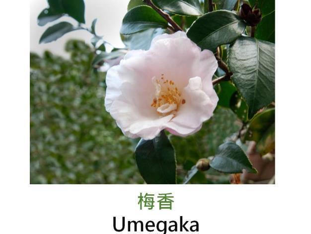 梅香Umegaka.JPG