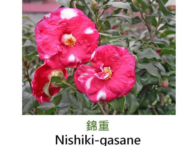 錦重Nishiki-gasane.JPG