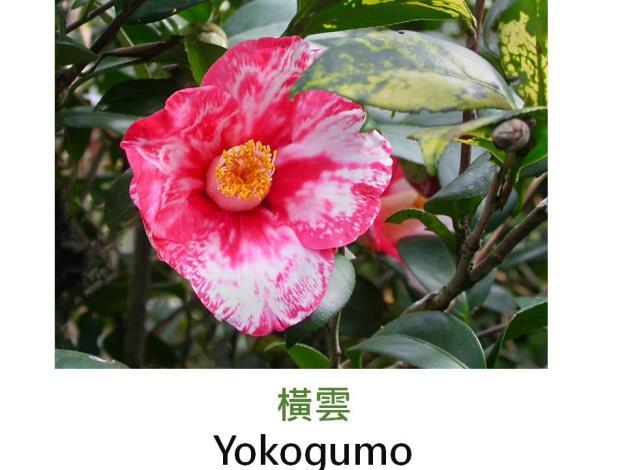 橫雲Yokogumo.JPG