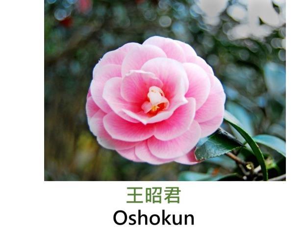 王昭君Oshokun.JPG