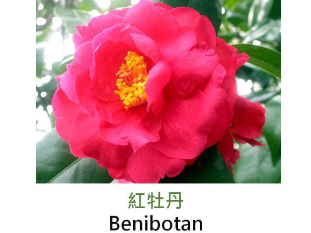 紅牡丹Benibotan.JPG