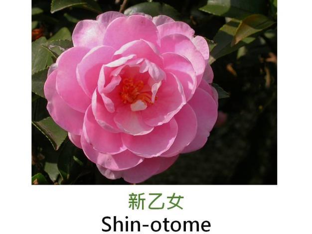 新乙女Shin-otome.JPG