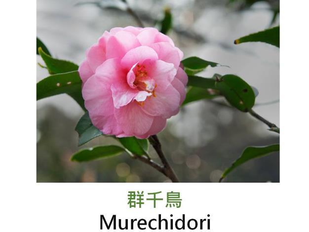 群千鳥Murechidori.JPG