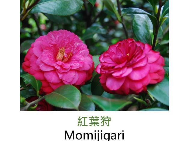 紅葉狩Momijigari.JPG