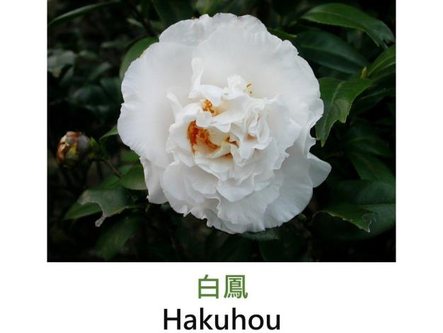 白鳳Hakuhou.JPG