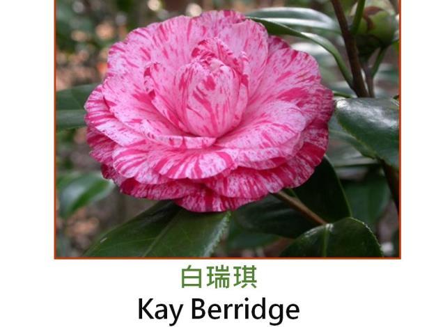 白瑞琪Kay Berridge.JPG