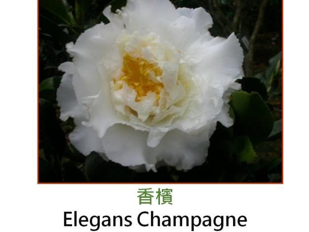 香檳Elegans Champagne.JPG