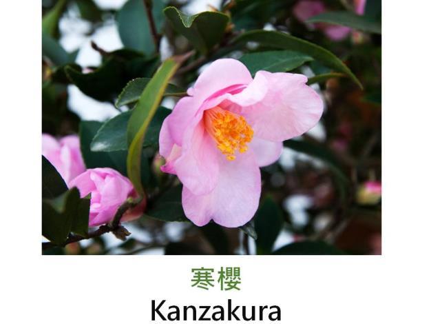 寒櫻Kanzakura.JPG
