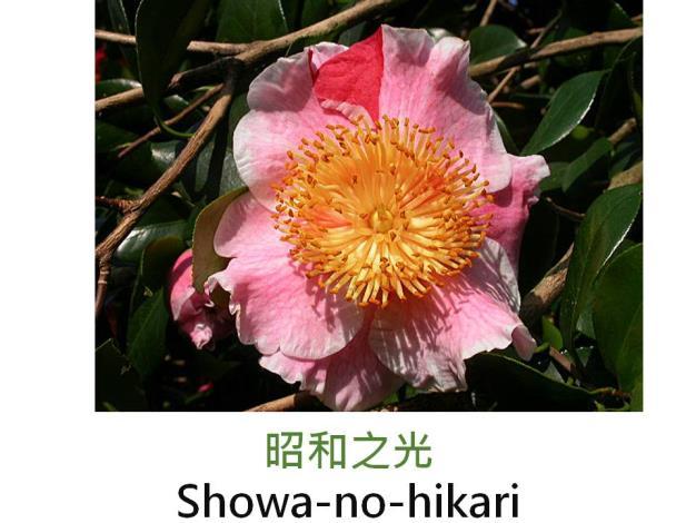 昭和之光Showa-no-hikari.JPG
