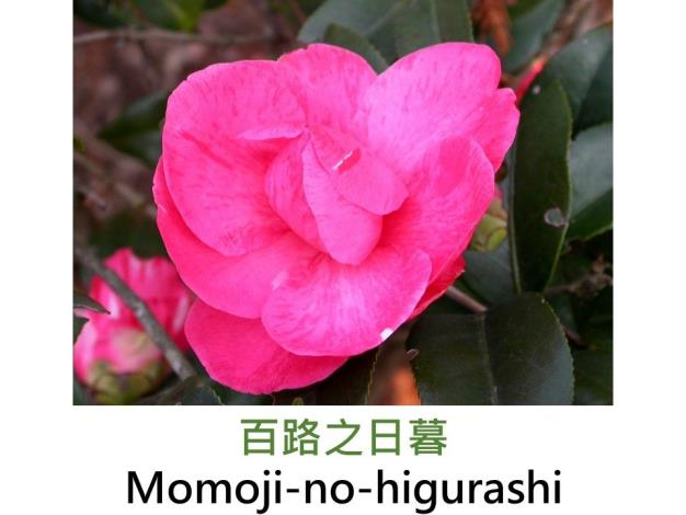 百路之日暮Momoji-no-higurashi.JPG