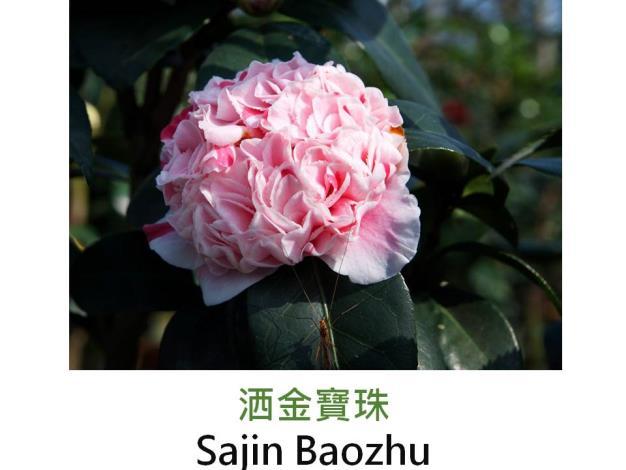 洒金寶珠Sajin Baozhu.JPG