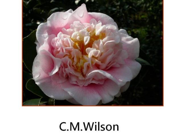 C.M.Wilson.JPG